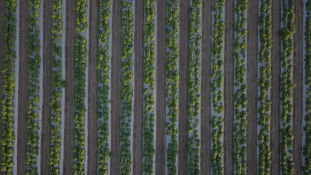 stockvideo's en b-roll-footage met luchtfoto vliegen over rijen van de jonge groene planten boerderij veld - luchtvaartuig