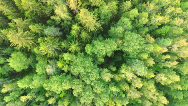 Aerial View. Flying over the forest trees. Aerial drone shot.