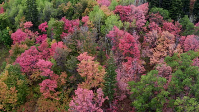 aerial view flying over trees on a mountain showing colorful trees - プロボ点の映像素材/bロール