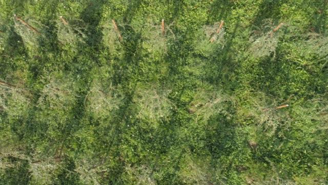 vídeos de stock e filmes b-roll de ws aerial view from above of green goji strawberry crop,slovenia - lichia