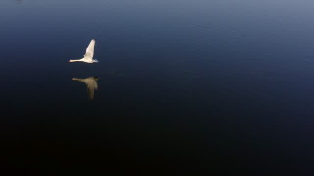 aerial view from swan flying over beautiful lake - water bird stock videos & royalty-free footage