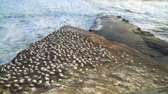 aerial view gannet colony at muriwai beach,auckland, new zealand - 40 seconds or greater stock videos & royalty-free footage