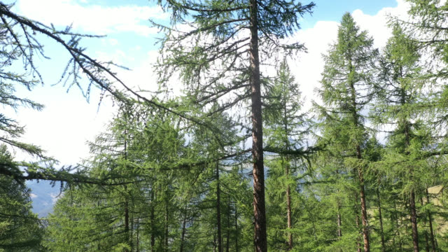 aerial view in the larch forest in the mountains - area selvatica video stock e b–roll