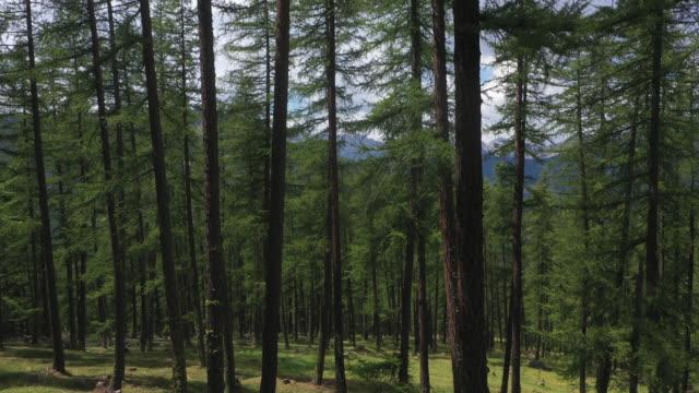 vídeos y material grabado en eventos de stock de aerial view in the larch forest in the mountains - pinaceae