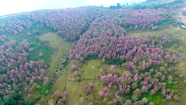 Aerial View Landscape of Pink Flower Cherry Blossoms, Sakura, at Phu Lom Lo, Loei  Province, Thailand.
