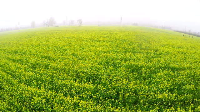 aerial view looking oilseed rape flowers field - oilseed rape stock videos & royalty-free footage