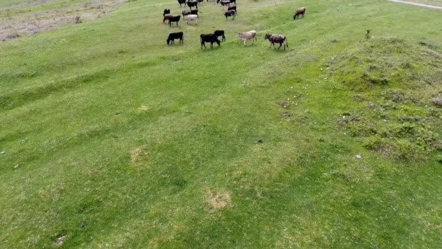 空撮草原、放牧されている牛 - 家畜を集める点の映像素材/bロール