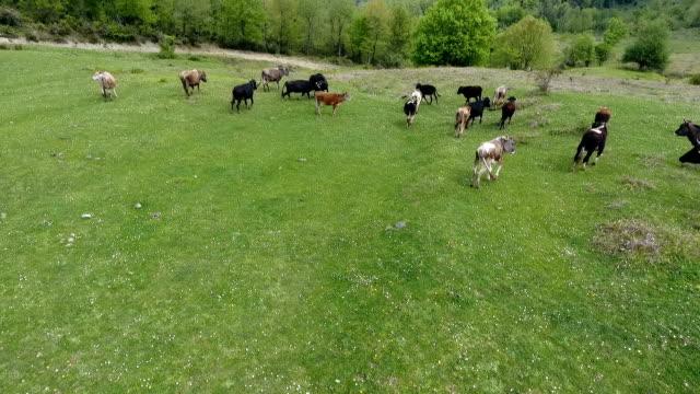 空撮草原、放牧されている牛 - cattle点の映像素材/bロール