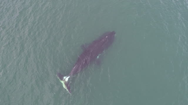 stockvideo's en b-roll-footage met aerial view of a bowhead whale swimming in shallow water in the sea of okhotsk, russia. - duurzaam toerisme
