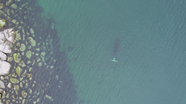 stockvideo's en b-roll-footage met aerial view of a bowhead whale swimming in shallow water near a rocky coastline in the sea of okhotsk, russia. - duurzaam toerisme