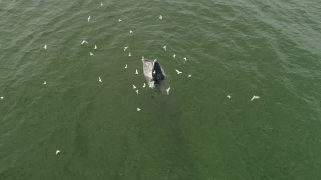 aerial view of a bryde's whale - southern right whale stock videos & royalty-free footage