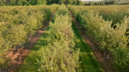 Aerial view of a cherry farm in Northern Michigan