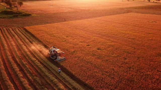 aerial view of a combine harvester harvesting on rice filed in sunset time - agricultural machinery stock videos & royalty-free footage