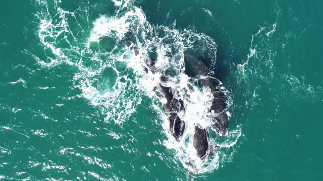 aerial view of a female southern right whale being chased by three adult males to try and mate with her, nuevo gulf, valdes peninsula, argentina. - female with group of males stock videos & royalty-free footage