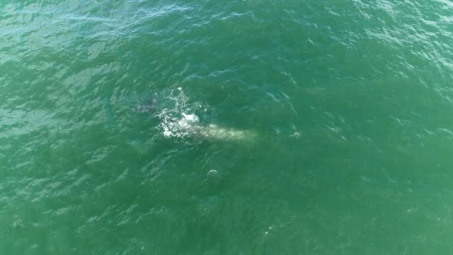 aerial view of a gray whale at the surface of the ocean in depoe bay oregon - oregonkusten bildbanksvideor och videomaterial från bakom kulisserna