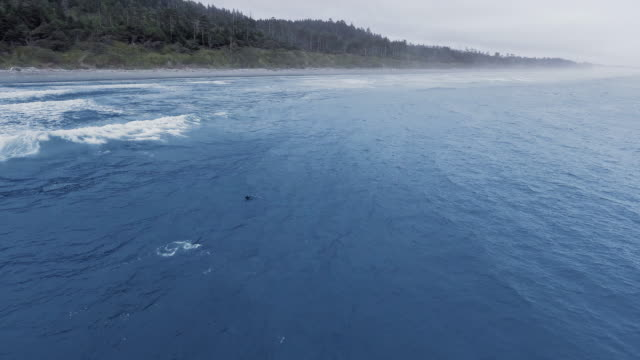 aerial view of a gray whale basking in the waves of the ocean on the surface of the water at ruby beach, washington, usa - north stock videos & royalty-free footage