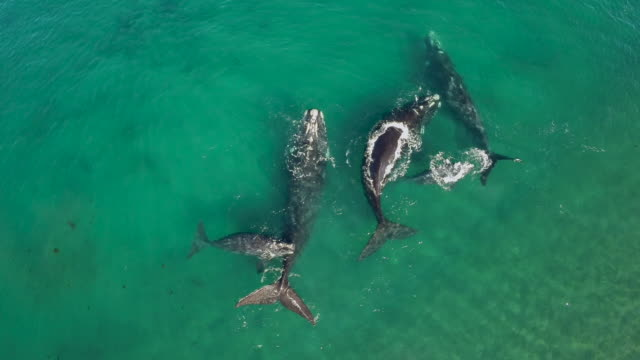 Aerial view of a group of Southern right whales, mothers and calfs in shallow bay