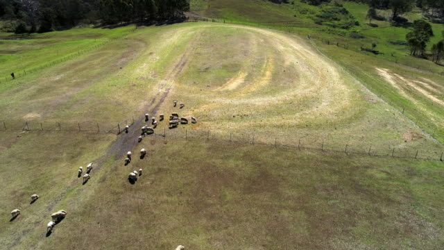 aerial view of a herd of sheep on a farm in australia - ranch stock videos & royalty-free footage