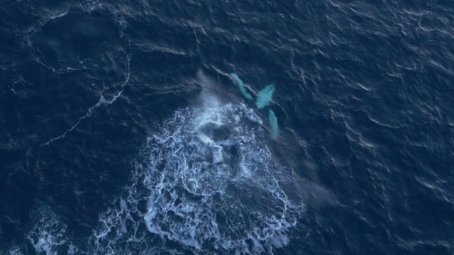 Aerial view of a humpback whale bashing his tail onto the water surface in Norway