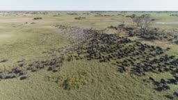 Aerial view of a large herd of Cape buffalo running towards the camera in the Okavango Delta, Botswana