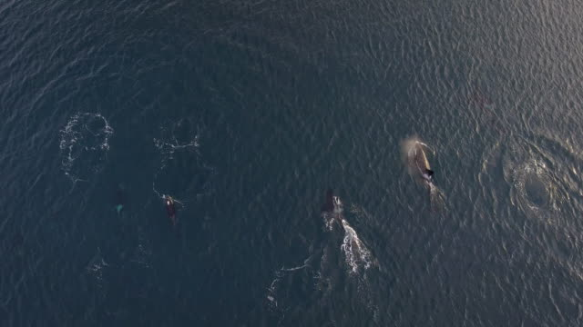 aerial view of a large pod of orcas swimming in norway - pod group of animals stock videos & royalty-free footage