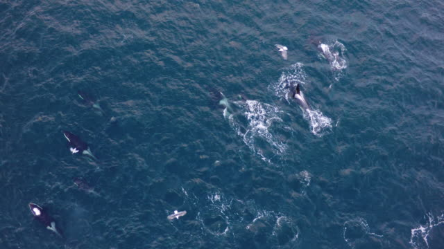 vídeos de stock, filmes e b-roll de aerial view of a large pod of orcas swimming in norway - bando de mamíferos marinhos