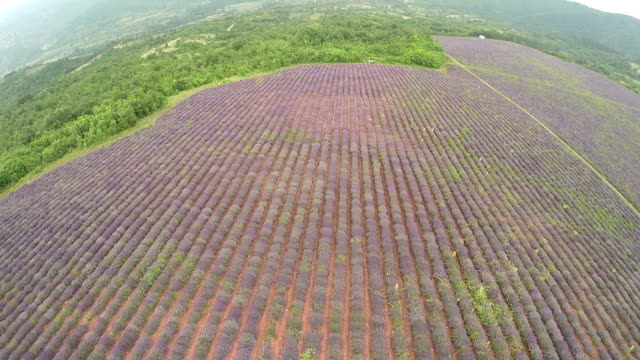 aerial view of a lavender plantation - body care stock videos & royalty-free footage