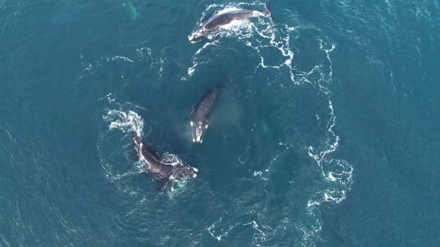 aerial view of a mating group of five adult southern right whale males pursuing a female to try and mate with her, nuevo gulf, valdes peninsula, argentina. - female with group of males stock videos & royalty-free footage