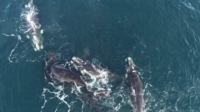 aerial view of a mating group of five adult southern right whale males pursuing a female to try and mate with her. in this clip as the female rolls onto her back the penis of one of the males is visible as they successfully mate. - mating stock videos & royalty-free footage