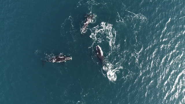 aerial view of a mating group of five adult southern right whale males pursuing a female to try and mate with her. in this clip one of the males lunges at the female, nuevo gulf, valdes peninsula, argentina. - southern right whale stock videos & royalty-free footage