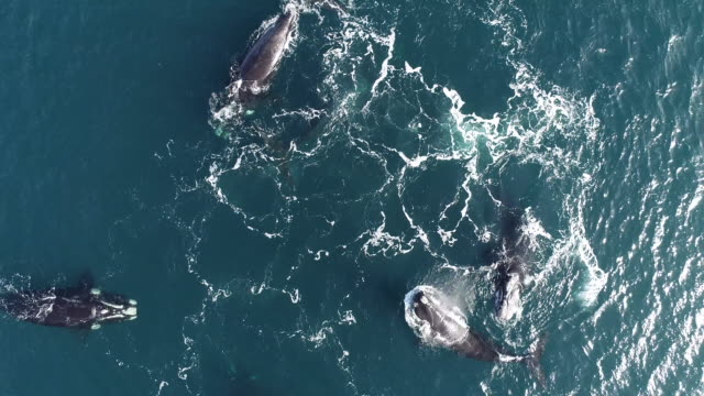 aerial view of a mating group of five adult southern right whale males pursuing a female to try and mate with her, nuevo gulf, valdes peninsula, argentina. - southern right whale stock videos & royalty-free footage