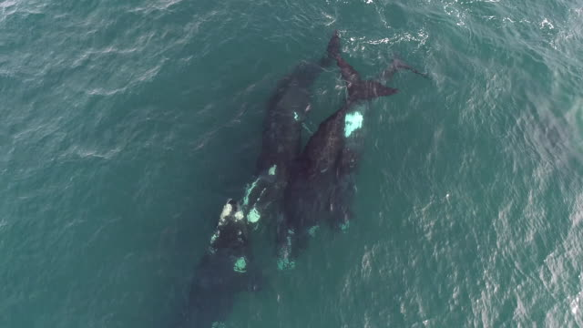 aerial view of a mating group of four adult southern right whales trying to mate with a female. in this clip the highly mobile penis of one of the males is visible. - female with group of males stock videos & royalty-free footage
