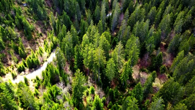 aerial view of a pine forest in switzerland - pine tree stock videos & royalty-free footage