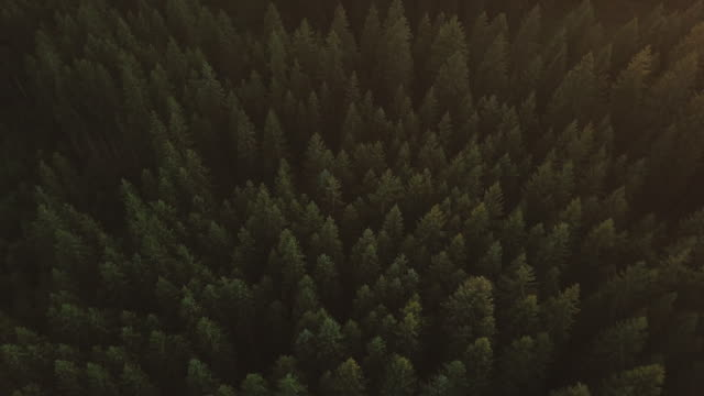 aerial view of a pine trees, park bijambare located in sarajevo, bosnia and herzegovina during the sunset, golden hour - fir tree stock videos & royalty-free footage