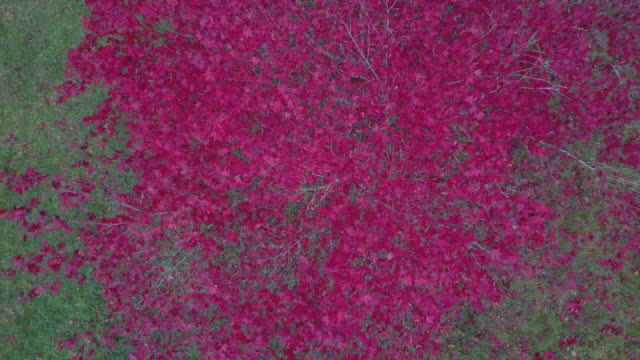 Aerial view of a pink - red tree during autumn, Victoria, Australia