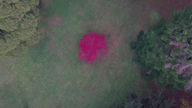 vídeos y material grabado en eventos de stock de aerial view of a pink - red tree during autumn, victoria, australia - rosa brillante