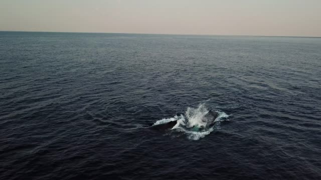 Aerial view of a pod of humpback whales moving towards the camera in the early morning.  Footage was taken during the annual winter migration of these whales north along the east coast of Africa to warmer waters.