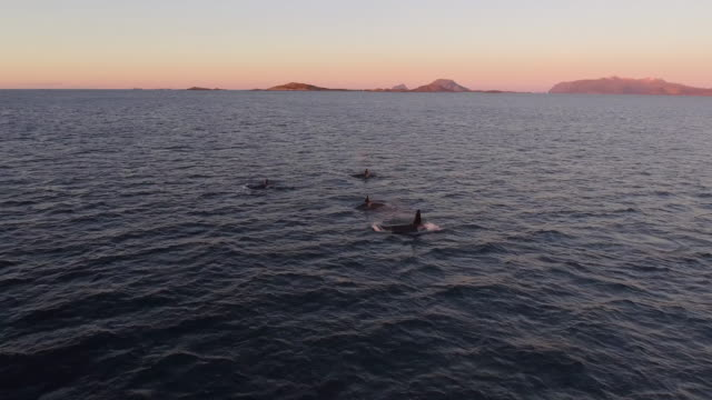 vídeos de stock, filmes e b-roll de aerial view of a pod of orcas swimming at magic hour in norway - bando de mamíferos marinhos