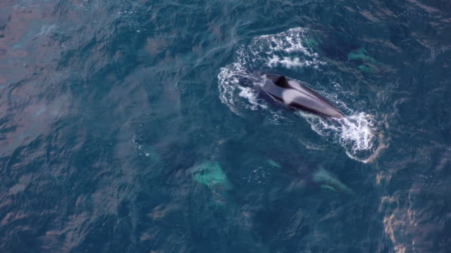 vídeos de stock, filmes e b-roll de aerial view of a pod of orcas swimming in northern norway - bando de mamíferos marinhos