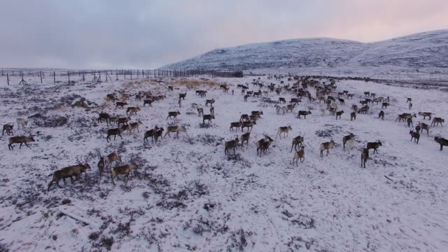 Aerial view of a reindeer herd, Lapland, Finland