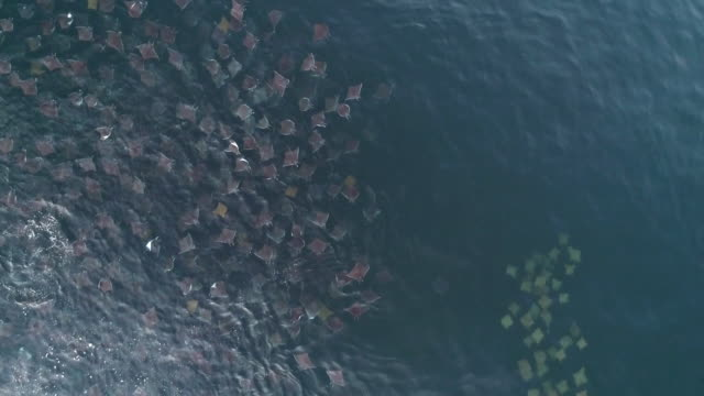 aerial view of a school of golden cownose rays being led to a very large school of munk's devil rays, mobula munkiana, by a mobula ray, sea of cortes, baja california, mexico. - large group of animals stock videos & royalty-free footage