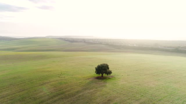 Aerial view of a single tree in the field of Andalusia, Spain