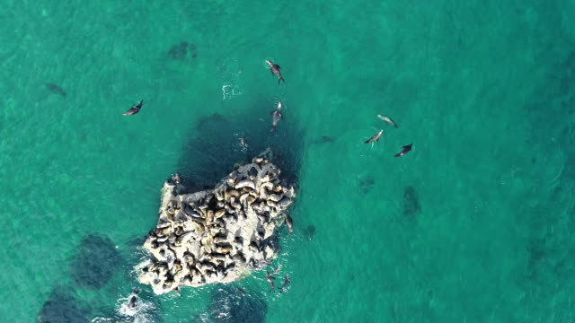 aerial view of a south american sea lion colony, nuevo gulf, valdes peninsula, argentina - provinz chubut stock-videos und b-roll-filmmaterial