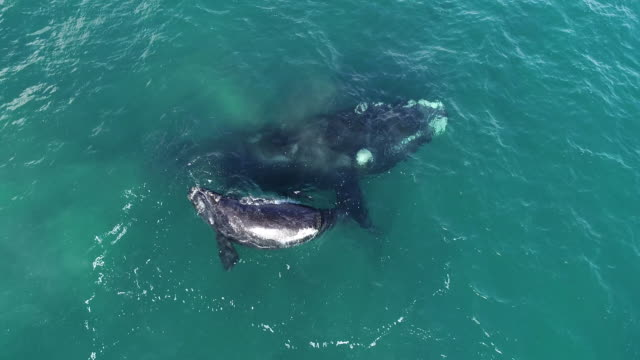 aerial view of a southern right whale and her calf playing at the surface in shallow water, nuevo gulf, valdes peninsula, argentina. - southern right whale stock videos & royalty-free footage