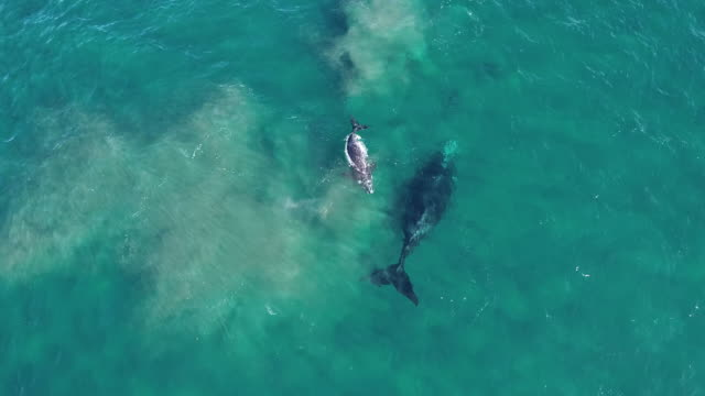 aerial view of a southern right whale and her calf playing at the surface in shallow water, nuevo gulf, valdes peninsula, argentina. the calf comes up to exhale. - tail fin stock videos & royalty-free footage