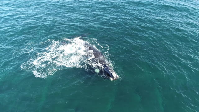 aerial view of a southern right whale calf lobtailing at the surface next to it's mother, nuevo gulf, valdes peninsula, argentina. - lobtailing stock videos & royalty-free footage