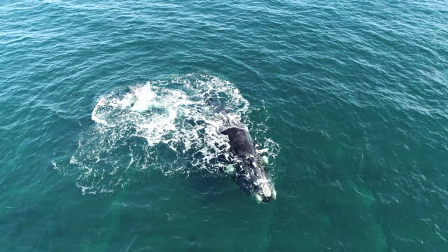 aerial view of a southern right whale calf lobtailing with lots of splashing at the surface close to it's mother, nuevo gulf, valdes peninsula, argentina. - lobtailing stock videos & royalty-free footage