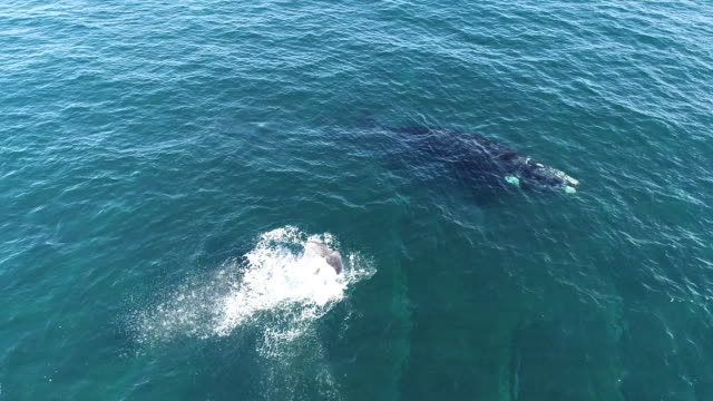 aerial view of a southern right whale calf lobtailing with lots of splashing at the surface with it's mother in the background, nuevo gulf, valdes peninsula, argentina. - lobtailing stock videos & royalty-free footage