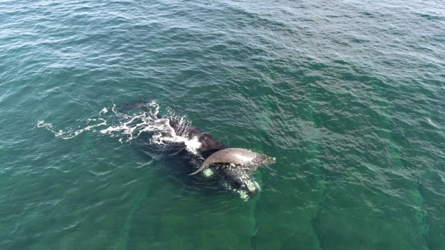 aerial view of a southern right whale supports her exhausted young calf on her nose, nuevo gulf, valdes peninsula, argentina. - tail stock videos & royalty-free footage
