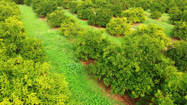 aerial view of a tangerine garden - orchard stock videos & royalty-free footage